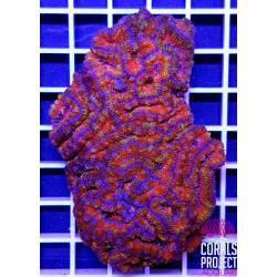 "Acanthastrea Lordhowensis ""Rainbow"""