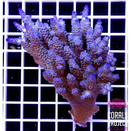 Acropora sp selvatica australia