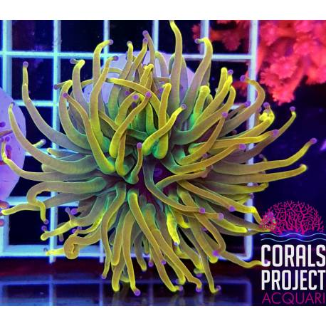 Euphyllia glabrescens gold torch indonesia